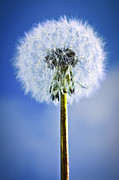 Single Prints - Dandelion Print by Elena Elisseeva