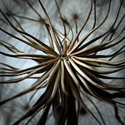 Hairy Stem Prints - Dandelion Print by Stylianos Kleanthous