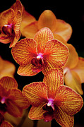 Orange Metal Prints - Deep Cut Orchid Society 15th Annual Orchid Show Metal Print by Dan Pfeffer
