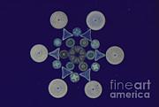 Diatom Arrangement Print by M. I. Walker