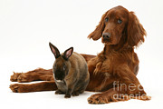 Irish Setter Posters - Dog And Rabbit Poster by Jane Burton