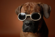 Boxer Dog Framed Prints - Dog Wearing Sunglasses Framed Print by Chris Amaral