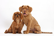 Sleeping Dog Posters - Dogue De Bordeaux And Cavalier King Poster by Mark Taylor
