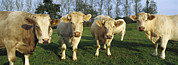 Bos Bos Posters - Domestic Cattle Bos Taurus Charolais Poster by Cyril Ruoso