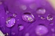 Rain Drop Posters - Drops on a purple petal Poster by Sami Sarkis