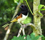 Terri Albertson - Eastern Towhee