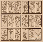Ruse Prints - Edible Herbs Print by Science Source