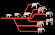 Lineage Prints - Elephant Evolution, Diagram Print by Gary Hincks