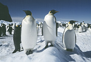 Emperor Penguin Photos - Emperor Penguins by Doug Allan