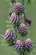New Britain Framed Prints - European Larch Cones Framed Print by Colin Varndell