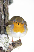 Forest Floor Photos - European Robin by Duncan Shaw
