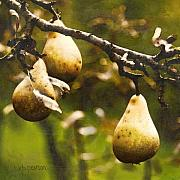 Pears Digital Art Framed Prints - Fall Harvest Framed Print by Barb Pearson