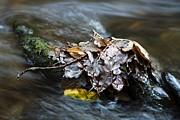 Fallen Leaf Framed Prints - Fallen Leaves In A River Framed Print by Dr Keith Wheeler