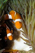 Spawning Prints - False Clown Anemonefish Print by Georgette Douwma