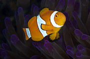 Pomacentridae Posters - False Ocellaris Clownfish In Its Host Poster by Terry Moore