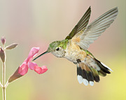 Female Broadtail Hummingbird Print by Gregory Scott