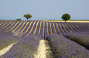 Provencal Framed Prints - Field of lavender. Provence Framed Print by Bernard Jaubert