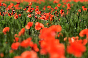 Abundance Art - Field of poppies. by Bernard Jaubert