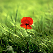 Blurry Posters - Field of wheat with a solitary poppy. Poster by Bernard Jaubert