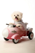 Soft Puppy Posters - Fifi loves her rocket car Poster by Michael Ledray
