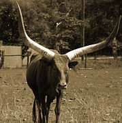 Bulls Photo Posters - Florida Longhorn Poster by Pamela Stanford