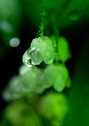 Sweating Photo Prints - Flower and drops Print by Odon Czintos