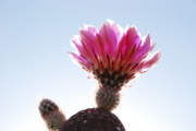Fushia Photos - Flowering Cactus by David A Lee