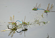 Dragonflies Mating Photos - Fly By by Fraida Gutovich