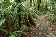 Tropical Trees Prints - Forest trail Print by Les Cunliffe