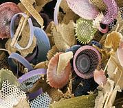 Fossilised Diatoms, Sem Print by Steve Gschmeissner