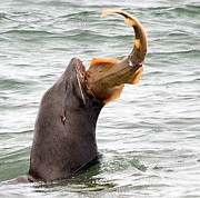 Sea Lion Photos - Fresh Catch of the Day by Fraida Gutovich