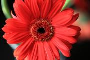 Inexpensive Metal Prints - Gerbera Metal Print by Amanda Barcon