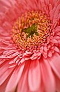 Gerbera Flower Print by Elena Elisseeva