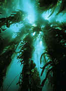 Californian Framed Prints - Giant Kelp Framed Print by Georgette Douwma
