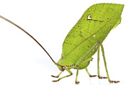 Katydid Art - Giant Leaf Katydid Barbilla Np Costa by Piotr Naskrecki