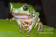 Toe Pad Framed Prints - Giant Monkey Frog Framed Print by Dante Fenolio