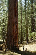 Giant Sequoia Posters - Giant Sequoia Poster by Diccon Alexander
