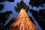 Giant Sequoia Posters - Giant Sequoia general Sherman Poster by David Nunuk