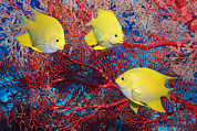Damselfish Posters - Golden Damselfish Poster by Georgette Douwma