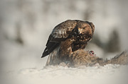 Golden Eagle Photos - Golden Eagle by Andy Astbury