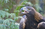 Lightscapes Photos - Golden Eagle by Sean Griffin