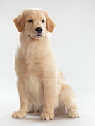 Golden Retriever Puppies Posters - Golden Retriever Puppy Poster by Oleksiy Maksymenko