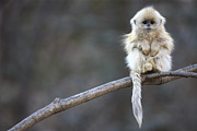 Juvenile Metal Prints - Golden Snub-nosed Monkey Rhinopithecus Metal Print by Cyril Ruoso