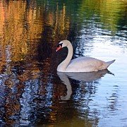 Swans... Prints - Grace Print by Sharon Lisa Clarke