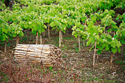 Grape Vines Photo Posters - Grape vines Poster by Gaspar Avila