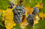 Pinot Photos - Grapes and Vines by Andy Dean