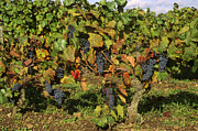 Growing Grapes Prints - Grapes growing on vine Print by Bernard Jaubert