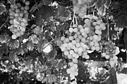 Grape Vine Prints - Grapes Hanging From Overhead Vines In The Grounds Of A Small Monastic Winery In The Troodos Mountain Print by Joe Fox