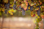Vino Photos - Grapes on The Vine by Andy Dean