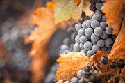 Vino Prints - Grapes with Mist Drops on the Vine Print by Andy Dean